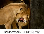 couple of lions licking and... | Shutterstock . vector #113183749