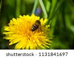 bee collects nectaring on... | Shutterstock . vector #1131841697