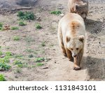 big brown bear or ursus arctos... | Shutterstock . vector #1131843101