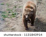 big brown bear or ursus arctos... | Shutterstock . vector #1131843914