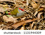red browed finch in the wild in ...   Shutterstock . vector #1131944309
