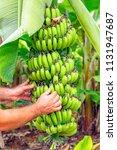 banana bunch of the banana tree.... | Shutterstock . vector #1131947687
