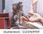 Stock photo a woman holds a paw of a little kitten in her hand the kitten put a hand on the woman s hand a 1131969959