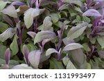 salvia officinalis  garden sage ... | Shutterstock . vector #1131993497