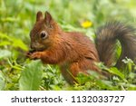 squirrel eating natural seed in ... | Shutterstock . vector #1132033727