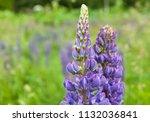 purple flower lupine macro ... | Shutterstock . vector #1132036841