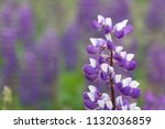 purple flower lupine macro ... | Shutterstock . vector #1132036859