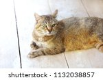 striped spotted cat looks on... | Shutterstock . vector #1132038857