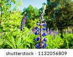 blue flower lupine macro  close ... | Shutterstock . vector #1132056809