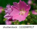 lilac flower malva sylvestris. | Shutterstock . vector #1132089917
