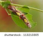 Morpho Peleides Caterpillar