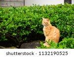 close up shot of portrait cat.... | Shutterstock . vector #1132190525