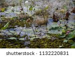 waterlilies floating on the...   Shutterstock . vector #1132220831