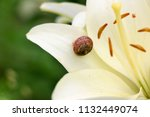 closeup on a garden snail on... | Shutterstock . vector #1132449074