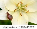 closeup on a garden snail on... | Shutterstock . vector #1132449077