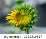 blooming sunflower plant... | Shutterstock . vector #1132519817