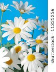 beautiful white spring marguerite against blue background - stock photo