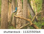 peacock in all its beauty at...   Shutterstock . vector #1132550564