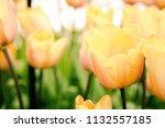 fresh blooming yellow tulips in ...   Shutterstock . vector #1132557185