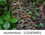 Turkey Tail Mushroom Bracket...