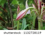 large giant pink spider lily  ... | Shutterstock . vector #1132728119