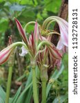 large giant pink spider lily  ... | Shutterstock . vector #1132728131
