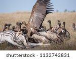 zebras migration   ... | Shutterstock . vector #1132742831