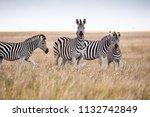 zebras migration   ... | Shutterstock . vector #1132742849