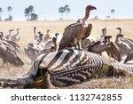 zebras migration   ... | Shutterstock . vector #1132742855