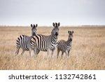 zebras migration   ... | Shutterstock . vector #1132742861