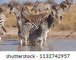 zebras migration   ... | Shutterstock . vector #1132742957