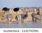 zebras migration   ... | Shutterstock . vector #1132742981