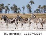 zebras migration   ... | Shutterstock . vector #1132743119