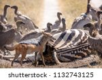 zebras migration   ... | Shutterstock . vector #1132743125