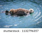 Sea Otter Mother And Cub In...