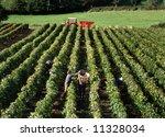 Wine harvest in France - stock photo