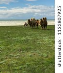 herd of camels in a field... | Shutterstock . vector #1132807925