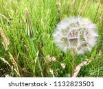 white dandelions  seaton carew... | Shutterstock . vector #1132823501