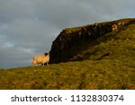 sheep grazing on the green ... | Shutterstock . vector #1132830374