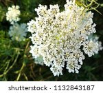 close up queen anne's lace | Shutterstock . vector #1132843187