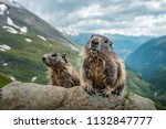 Two Marmots And A Beautiful...
