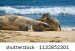 two hawaiian monk seals on... | Shutterstock . vector #1132852301