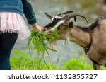 A Child Feeds A Goat With Grass