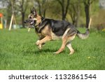 the oldest german shepherd runs ... | Shutterstock . vector #1132861544