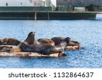 california sea lions hauled out ... | Shutterstock . vector #1132864637