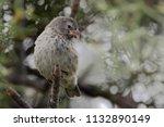 small ground finch  geospiza...   Shutterstock . vector #1132890149