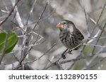 small ground finch  geospiza...   Shutterstock . vector #1132890155