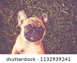 cute baby pug chihuahua mix... | Shutterstock . vector #1132939241
