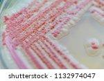 serratia marcescens is a... | Shutterstock . vector #1132974047