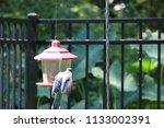 blue jay bird songbird flying... | Shutterstock . vector #1133002391